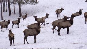 Siberian stag in the enclosure. Altai. Russia. Siberian stag in the enclosure. Altai. Russia Winter stock video