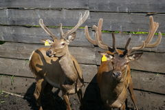 Siberian stags in the corral 2 stock images