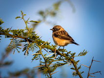 Siberian Stonechat. The Siberian stonechat or Asian stonechat is a recently validated species of the Old World flycatcher family . Like some other thrush-like Stock Image