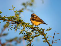 Siberian Stonechat. The Siberian stonechat or Asian stonechat is a recently validated species of the Old World flycatcher family . Like some other thrush-like Stock Photos