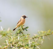 Siberian Stonechat. The Siberian stonechat or Asian stonechat is a recently validated species of the Old World flycatcher family . Like some other thrush-like Stock Photography