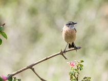 Siberian Stonechat. The Siberian stonechat or Asian stonechat is a recently validated species of the Old World flycatcher family . Like some other thrush-like Stock Images