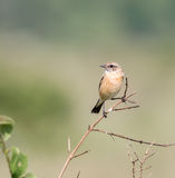 Siberian Stonechat. The Siberian stonechat or Asian stonechat is a recently validated species of the Old World flycatcher family . Like some other thrush-like Stock Photo
