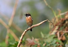 Siberian stonechat royalty free stock images