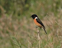 Siberian Stonechat. Bird Siberian stonechat or Asian stonechat Male Binomial name Saxicola maurus. Family Muscicapidae Order Passeriformes Location - Assam royalty free stock photos