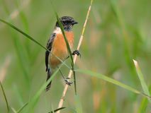 Siberian stonechat. Bird - Siberian stonechat or Asian stonechat. Binomial name - Saxicola maurus. Family: Muscicapidae. Order:Passeriformes. Captured in royalty free stock photo