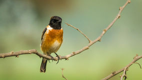 Orange black headed bird with grey and green backg Stock Photography
