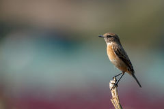 Siberian Stonechat or Saxicola maurus Royalty Free Stock Images