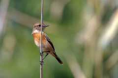 Siberian Stonechat or Saxicola maurus Stock Images