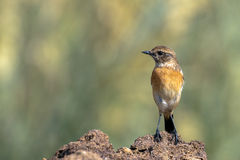 Siberian Stonechat or Saxicola maurus Stock Photo