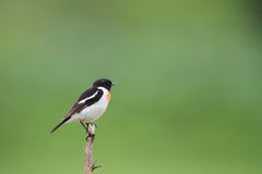 Siberian Stonechat Stock Images