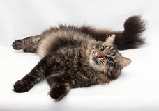 Siberian striped cat lying coquettishly by bending tail Royalty Free Stock Images