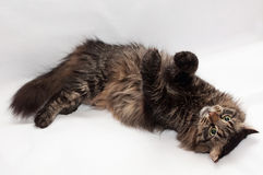 Siberian striped cat lying paws up Stock Images