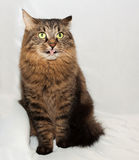 Siberian striped cat stuck her tongue Stock Photo