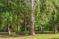 Siberian Summer Forest Stock Photo