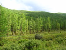Siberian taiga Royaltyfria Bilder