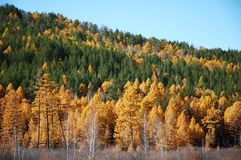 Siberian taiga in autumn Royalty Free Stock Photos