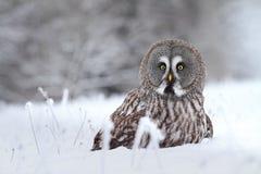 Siberian tawny owl. Tawny owl Strix nebulosa in winter royalty free stock photos