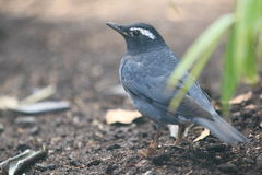 Siberian thrush. The siberian thrush standing on the soil royalty free stock photo