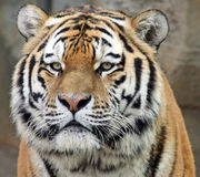 Siberian tiger 03. Close-up view of an Siberian tiger Royalty Free Stock Photography