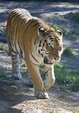 Siberian tiger 1 Stock Photography