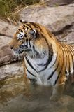 Siberian tiger Royalty Free Stock Photography