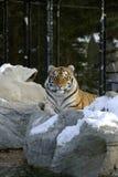 siberian tiger Royaltyfria Foton