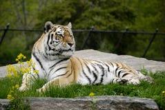Siberian Tiger Stock Photos