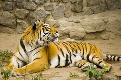 Siberian tiger. Closeup of Siberian tiger lying on ground outdoors royalty free stock photography