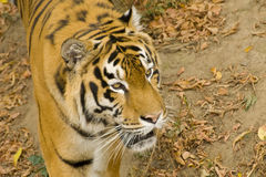 Siberian tiger. Elevated portrait of Siberian tiger outdoors Royalty Free Stock Images