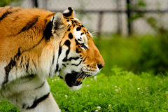 Siberian Tiger. Close up side view Stock Images