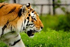 siberian tiger arkivbilder