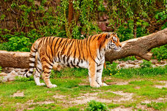 Siberian tiger Royalty Free Stock Image