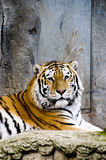 Siberian Tiger. (Panthera tigris altaica) lying down in a zoo Royalty Free Stock Photo