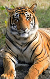 Siberian tiger. The Siberian tiger (Panthera tigris altaica) is also known as the Amur, Manchurian, Altaic, Korean, North China or, Ussuri tiger. Though it once Stock Photography