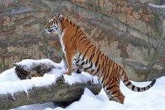siberian tiger Arkivfoto
