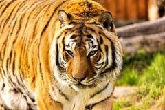 siberian tiger Royaltyfria Bilder