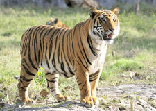 Siberian tiger. The Siberian tiger (Panthera tigris altaica) is also known as the Amur, Manchurian, Altaic, Korean, North China or, Ussuri tiger. Though it once stock images