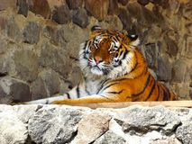 Siberian tiger. Is resting on the afternoon fiesta Stock Images