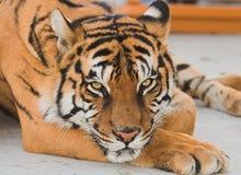 Siberian tiger Royalty Free Stock Photo