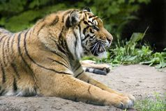 Siberian Tiger. Laying down Stock Photo