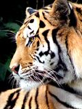 Siberian Tiger Royalty Free Stock Images