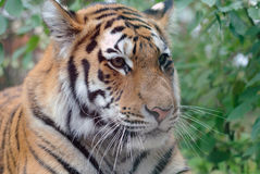 Siberian Tiger. Closeup picture of a Siberian Tiger on a Summer day Stock Image