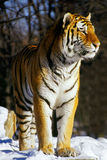 Siberian tiger 2. Something grabs the attention of tiger Stock Photos