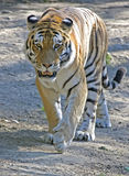 Siberian tiger 2 Stock Photography