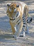 Siberian tiger 2. Siberian tiger. Latin name - Panthera tigris altaica Stock Photography