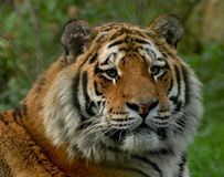 Siberian tiger. Male head portrait Royalty Free Stock Images
