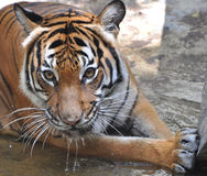 Siberian Tiger. This photo is a closeup of a female Siberian Tiger stock photography