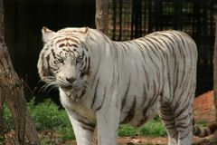 Siberian Tiger. This Siberian Tiger lives in a small South Carolina zoo.  He has been seen in movies and advertisements.  Here he stands in his cage Royalty Free Stock Photography