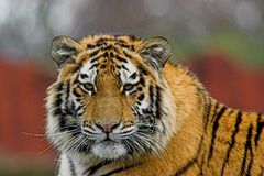 Siberian Tiger. Captive, the animal looked directly at me and my lens Stock Images
